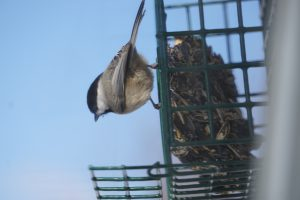 carolina chickadee on suet feeder - bird feeding stations