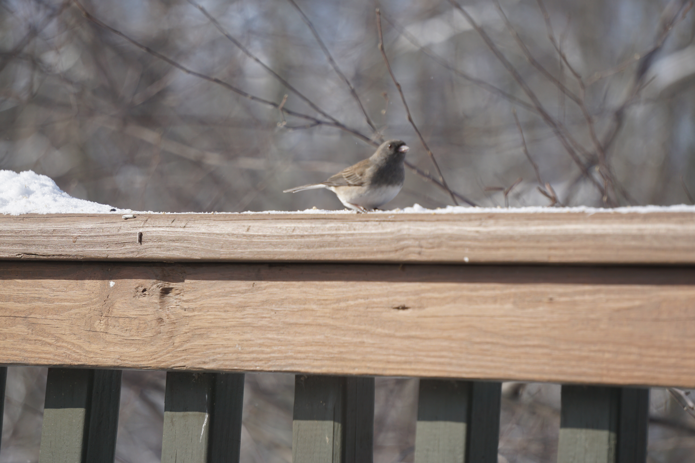tufted titmouse - bird feeding stations