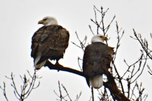 bald eagles - bald eagles in winter