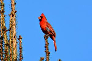 Northern cardinal - Northern cardinal bird