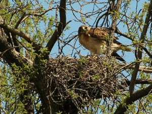 Red-tailed hawk in nest - red tailed hawk habitat