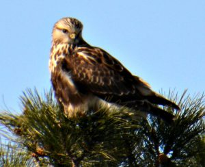 Rough-legged Hawk seen in Ohio. - Raptors Birds of Prey