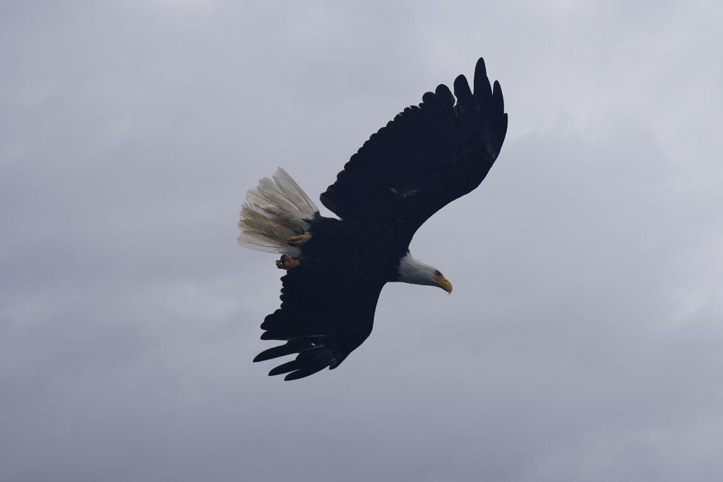 bald eagle - bald eagles in winter
