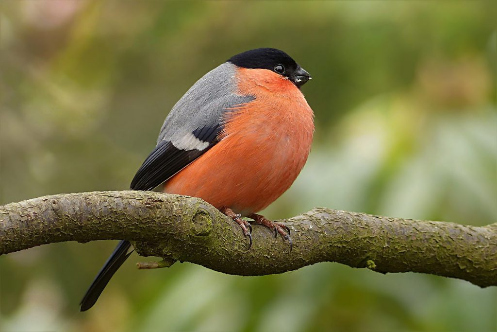 bull finch - how do birds stay warm