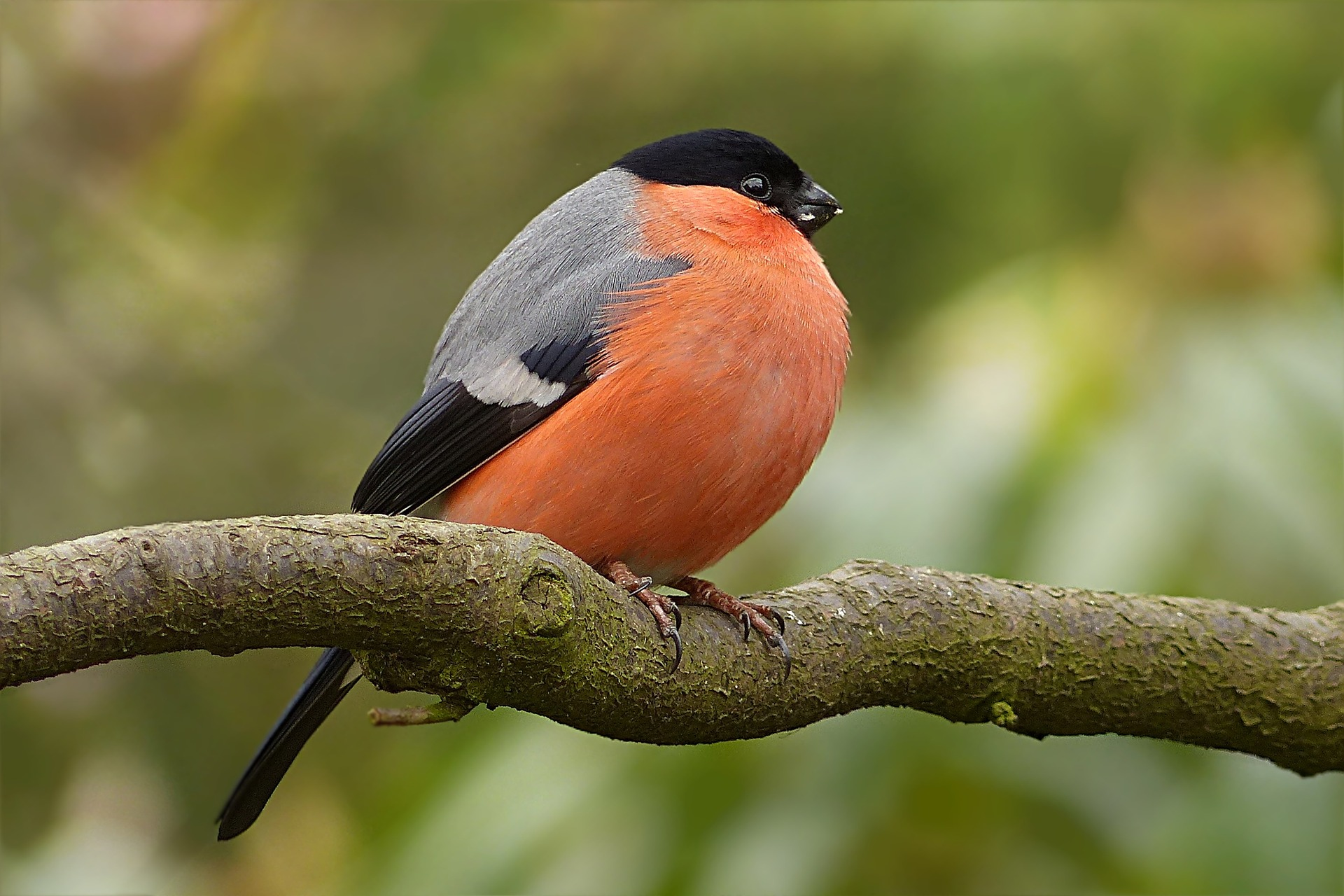 bull finch - how do birds stay warm