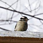 downy woodpecker - bird feeding stations