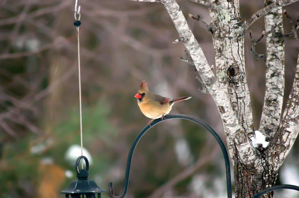 female cardinal - northern cardinal bird