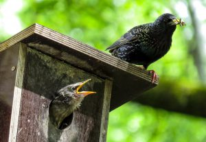 starlings nesting - how to get rid of starlings