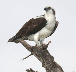 osprey - raptor birds of prey