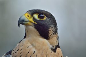 Peregrine falcon - raptors birds of prey