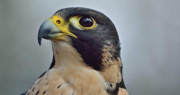 Peregrine falcon - raptors birds of prey