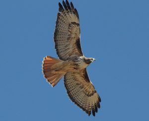 red-tailed hawk flying - red tailed hawk habitat