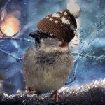 sparrow - how do birds keep warm?