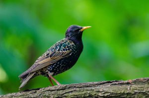 starling - how to get rid of starlings