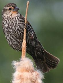 female red-winged blackbird - Red-winged Blackbird Migration