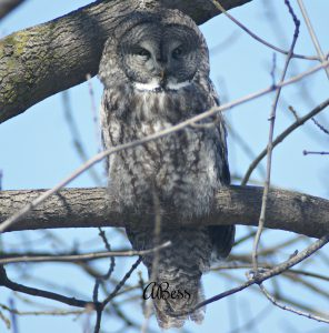 great grey owl - how to find owls