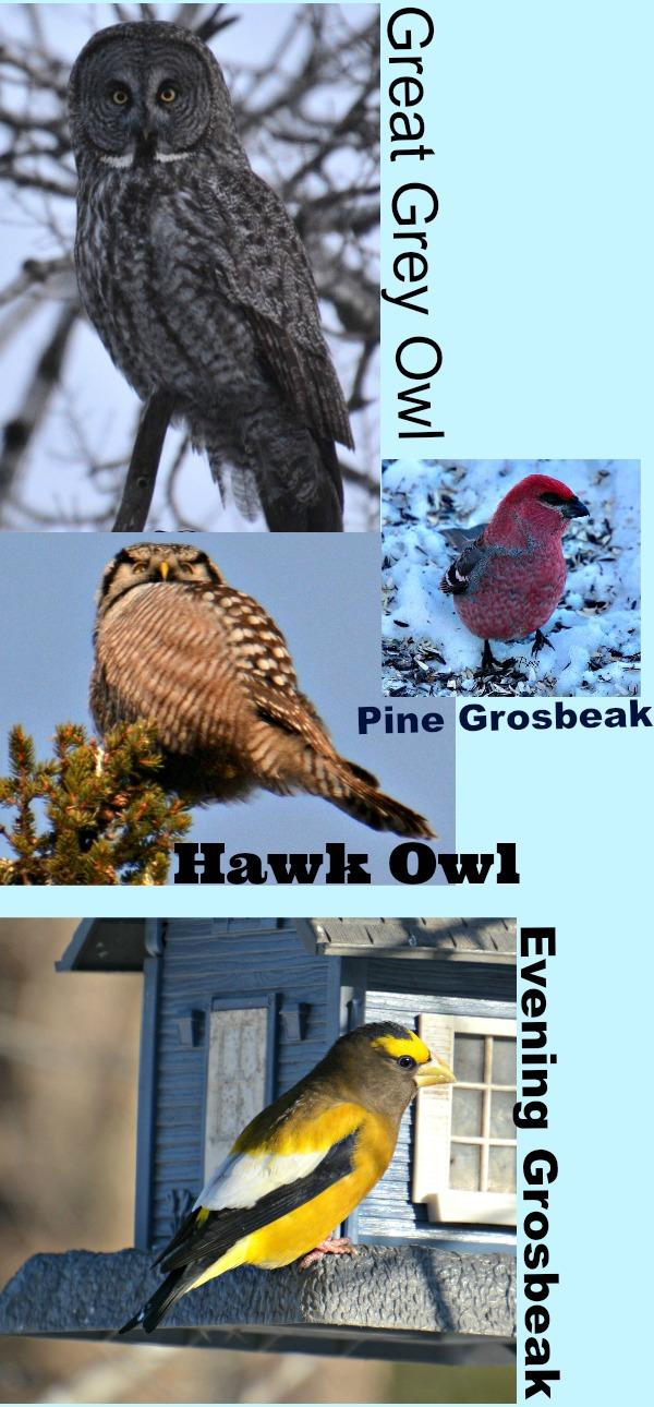 Sax-Zim Bog birds - Sax-Zim Bog Birding