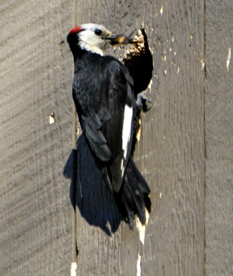 woodpecker nesting in wall - why do woodpeckers peck houses