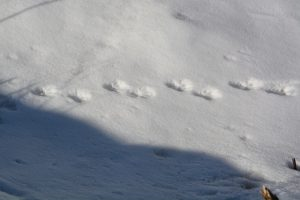 ermine tracks - sax zim bog birding