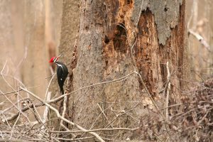 Pileated Woodpecker on tree - attract pileated woodpeckers