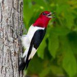 red-headed woodpecker - red headed woodpecker habitat