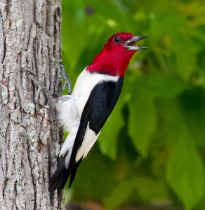 red-headed woodpecker - redheaded woodpecker habitat