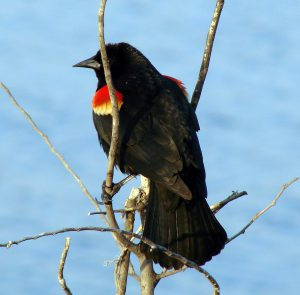 red winged blackbird - red winged blackbird habitat