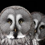 great grey owl - largest owl north america