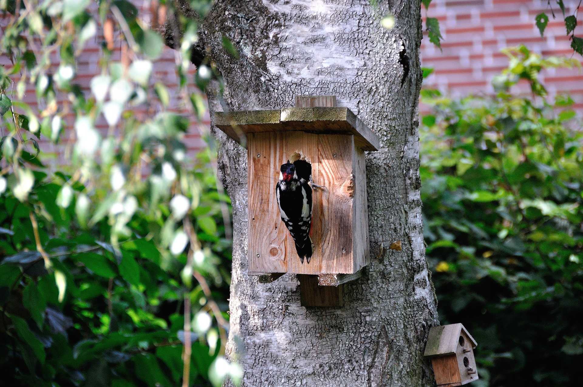 woodpecker at nesting box - why do woodpeckers peck