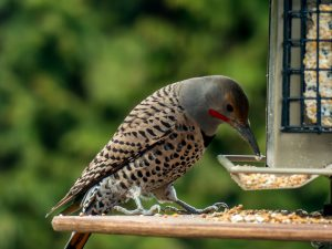 northern flicker at feeder - northern flicker woodpecker