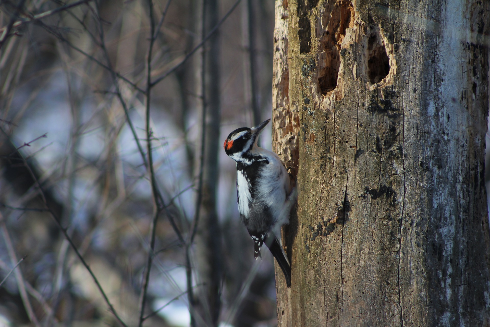 woodpecker on tree - why do woodpeckers peck on houses