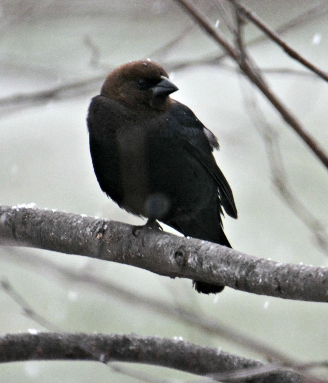 brown-headed cowbird - how to get rid of cowbirds