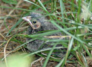 baby cowbird