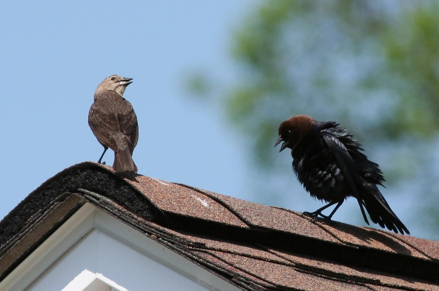 cowbirds in courtship - how to get rid of cowbirds