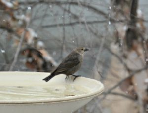 female brown-headed cowbird - how to get rid of cowbirds