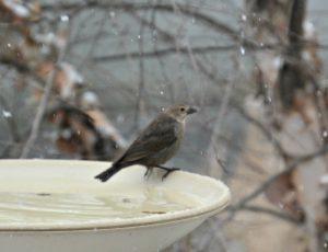 female brown-headed cowbird - how to get rid of cowbirds
