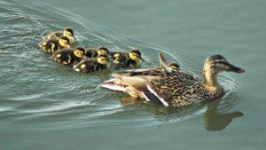 Mallard ducklings - mallard duck nesting habit