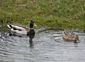 mallard pair - mallard duck nesting habits