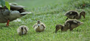 young mallard ducks - mallard duck nesting habits