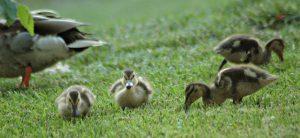 young mallard ducks - mallard duck nesting habits