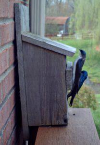 Tree Swallows - Tree Swallow bird houses