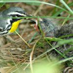 warbler feeding a cowbird - how to get rid of cowbirds