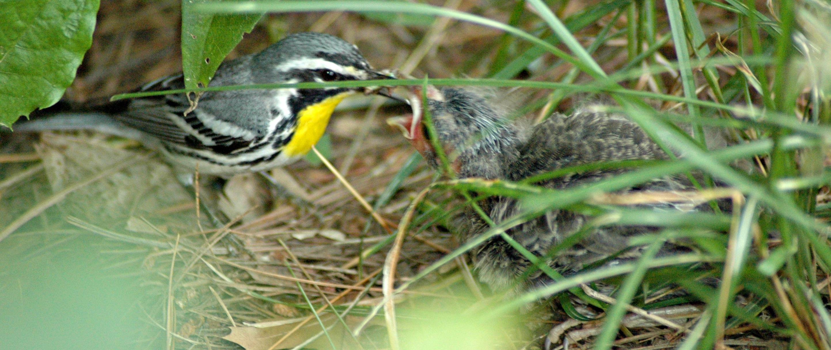 warbler feeding a cowbird - how to get rid of cowbirds