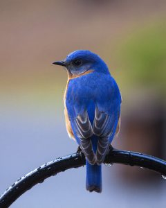 eastern bluebird - attract bluebirds to your yard