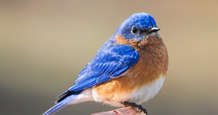 eastern bluebird -how to attract bluebirds to your yard