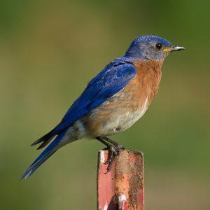eastern bluebird - attract bluebirds to your yard