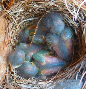 baby bluebirds - attract bluebirds to your yard