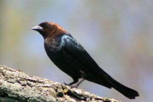 brown headed cowbird - how to get rid of brown-headed cowbirds