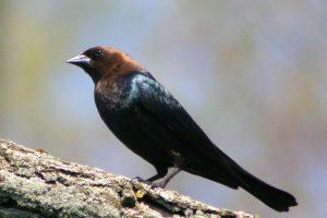 brown headed cowbird - how to get rid of brown-headed cowbirds
