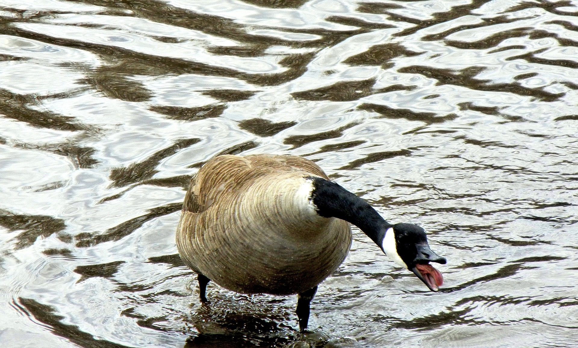 canada goose - nesting habits of canada geese